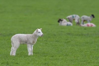 Lambs on the Downs