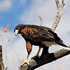 Harris's hawk (II)