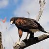 Harris's hawk (II)