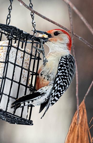 Male Red Bellied Woodpecker