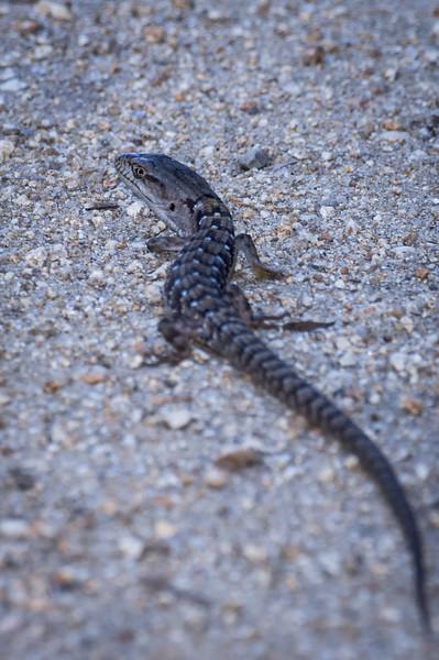 Long Lizard