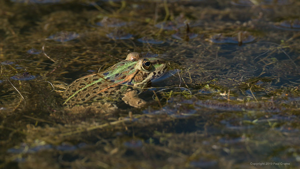 Frog in Greenham Common Pond 4