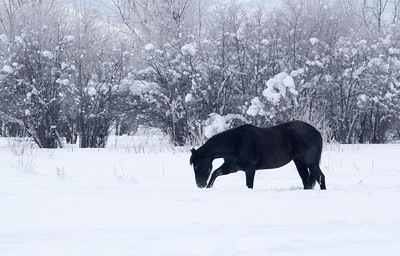 Dark horse in winter Landscape