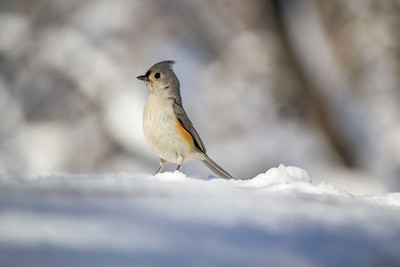Little Snow Bird