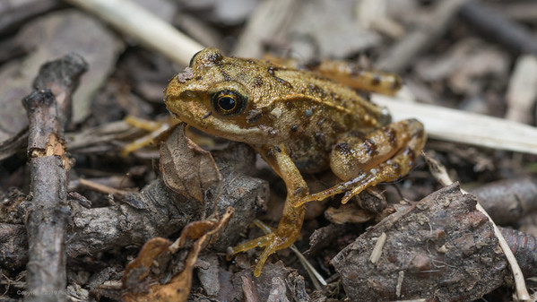 Froglet at Rhayader only 30mm long -2