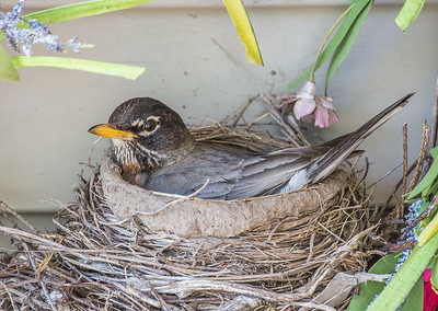 robin guarding her eggs on our porch