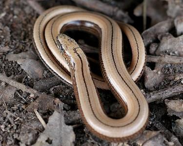 Juvenile Slow Worm at Greenham