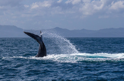 Humpback Whale Tail Splash