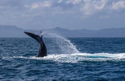 Humpback Whale Tail Splash