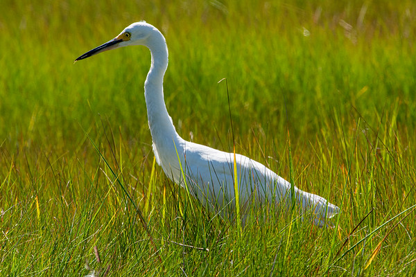 A Snowy Egret on the Prowl for lunch