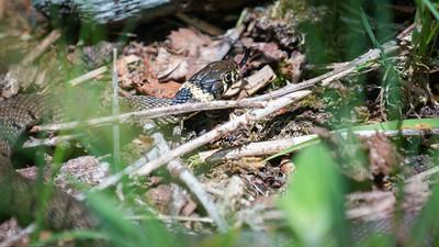 Grass Snake at the Herbert Plantation Closeup