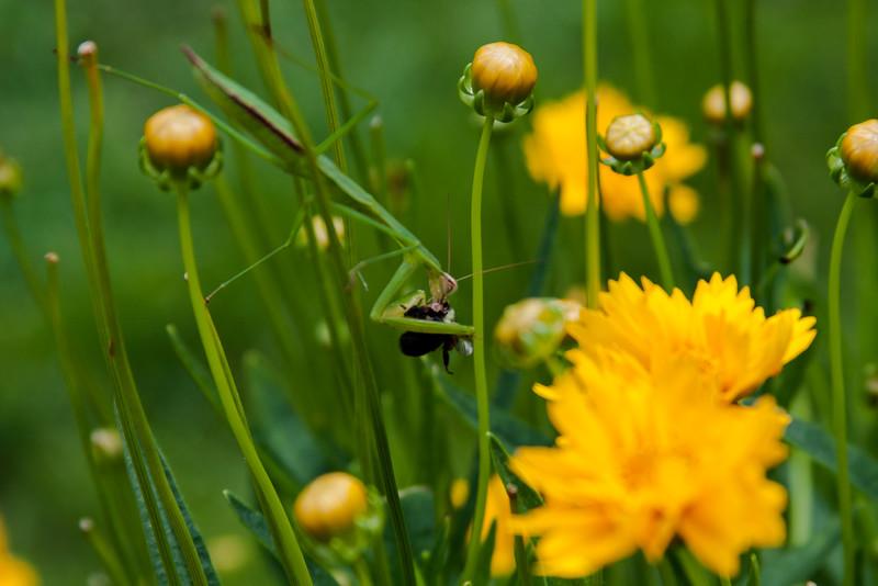 Praying Mantis Eating a Bumble Bee