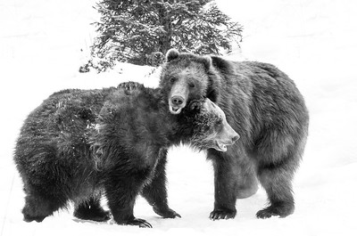 Bears in Snow
