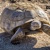Desert Tortoise Emerging from Burrow