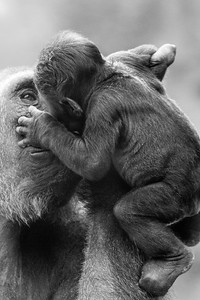 "Mama Gorilla kisses baby.   You can purchase high quality prints with the ""BUY"" button.  Or... if you are interested in seeing this image on more items, please visit my Zazzle store: http://www.zazzle.com/cmckee_photography/gifts?cg=196095358524817652"