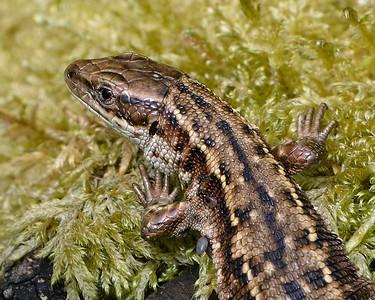 A Common Lizard at Greenham