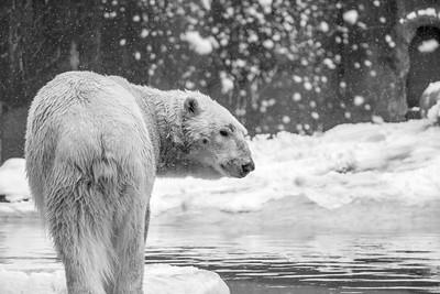 Bronx Polar Bear