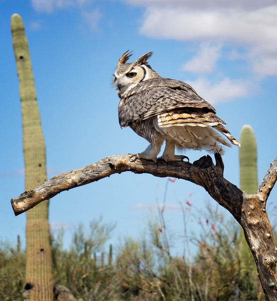 Great horned owl (II)