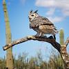 Great horned owl (II)