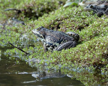 Toad with Reflection at Greenham Common