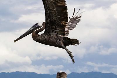 Pelican Above and Below