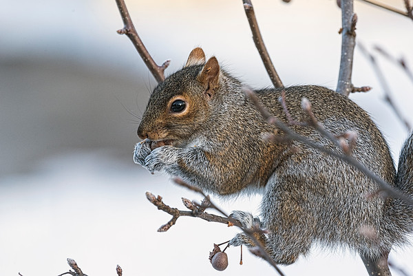 New England Grey Squirrel