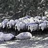 UCDavis - sheep