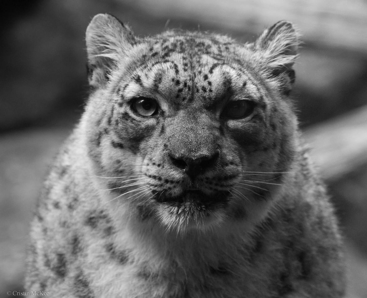 Stern Snow Leopard Portrait