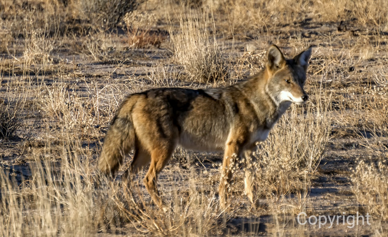 Coyote Joshua Tree