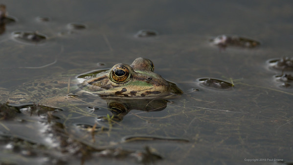 Frog in Greenham Common Pond 3