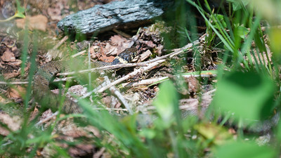 Grass Snake at the Herbert Plantation