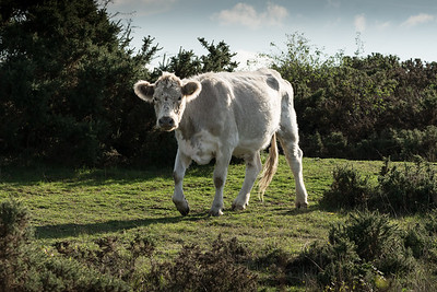 Cow on the Common - Greenham Common Newbury