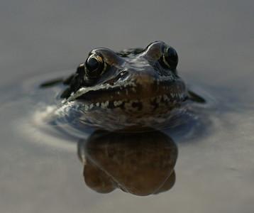 Frog-eyed
