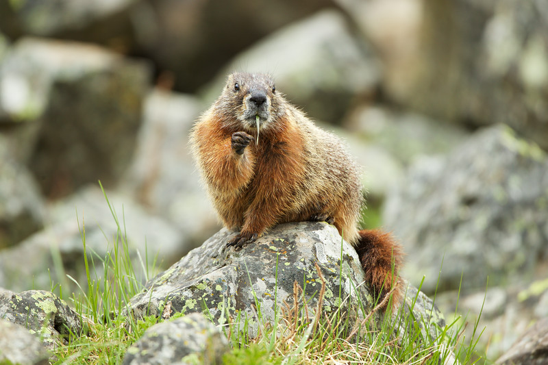 Red Bellied Marmot - Yellowstone National Park