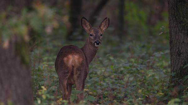 Roe Deer in Bowdown Woods 16x9 full
