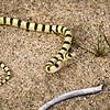 Baby King Snake