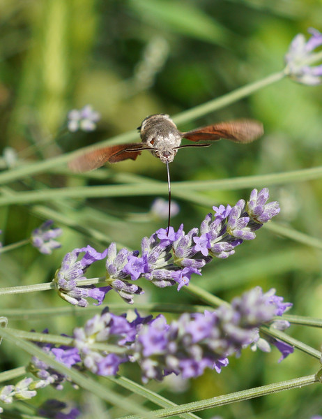 Hummingbird Moth 2