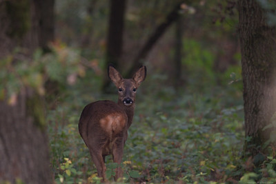 Roe Deer in Bowdown Woods 2a