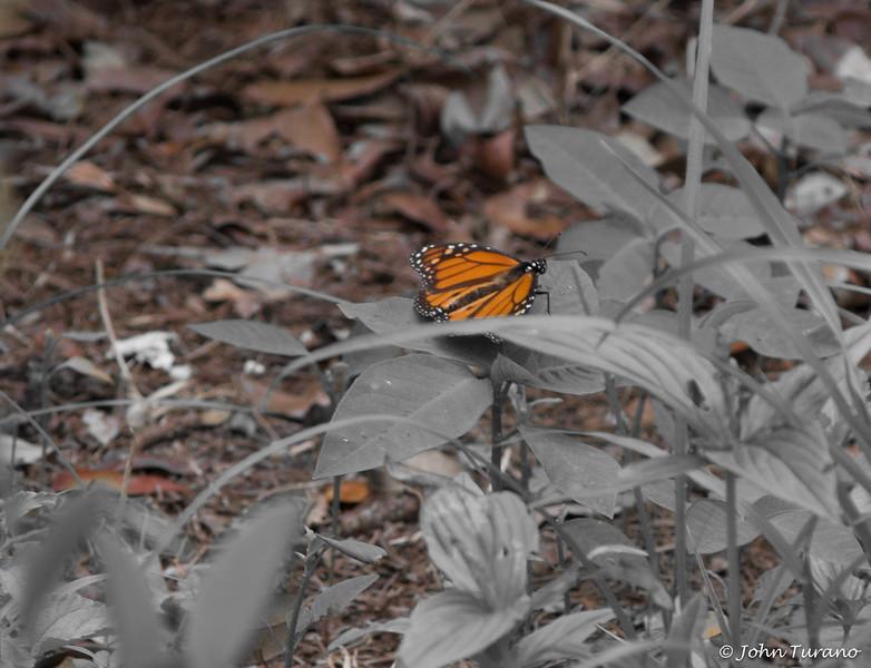 Not a Monarch