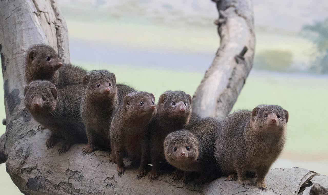 Dwarf Mongoose Crew