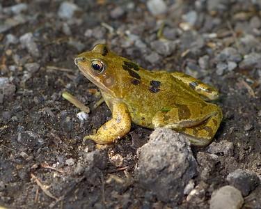 Frog Crossing Byway near Snelsmore