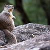 Yosemite Squirrel