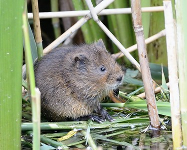 Water Vole at Freemans Marsh 14th June 2015