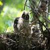 Long Eared Owls In Nest