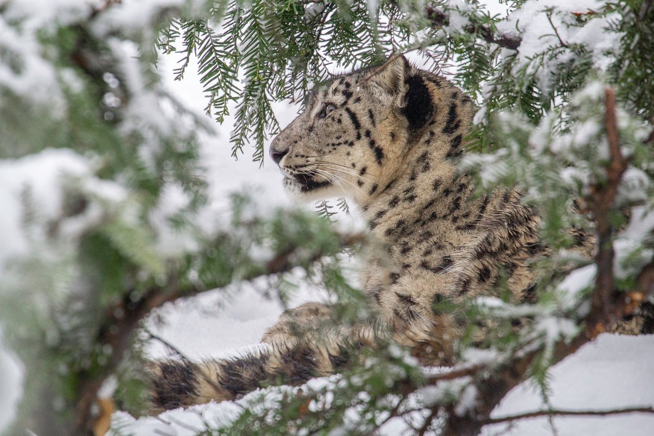 Snow Leopard Under Snowy Bush