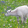 Baby mountain goat, Glacier National Park, Montana