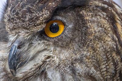 Eagle Owl Eye