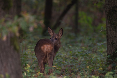 Roe Deer in Bowdown Woods 3