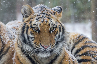 Winter Tiger Portrait