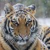 Winter Tiger Portrait